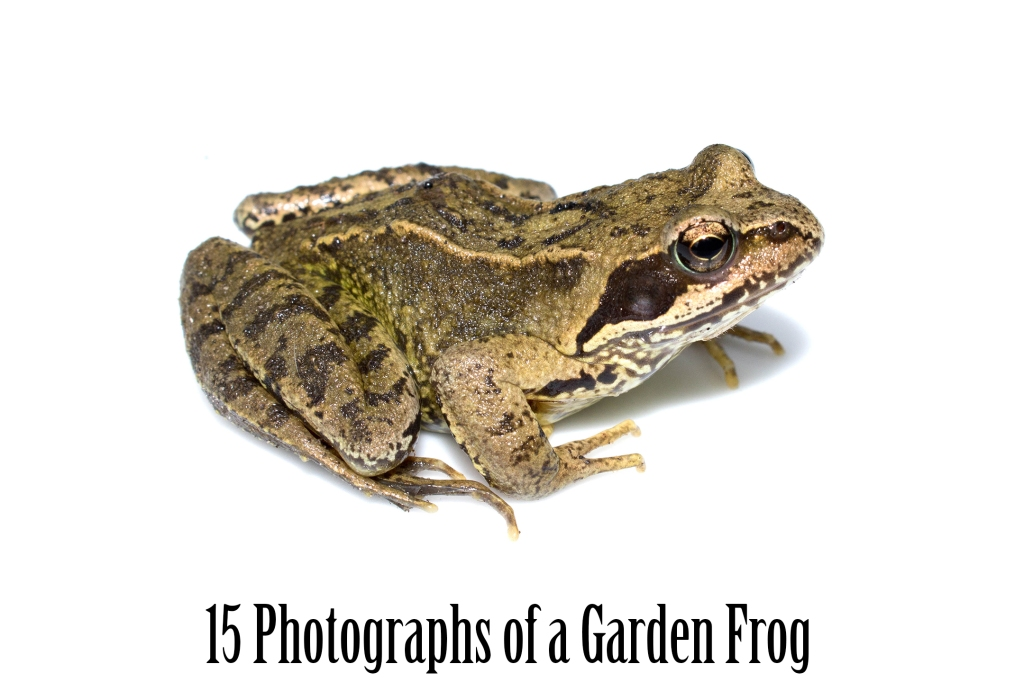 Common Garden Frog Photography Collection