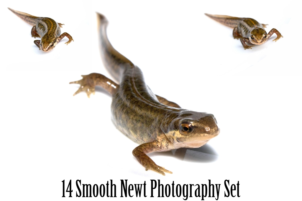 Collection of British smooth newt on white background for download by Squeeb Creative