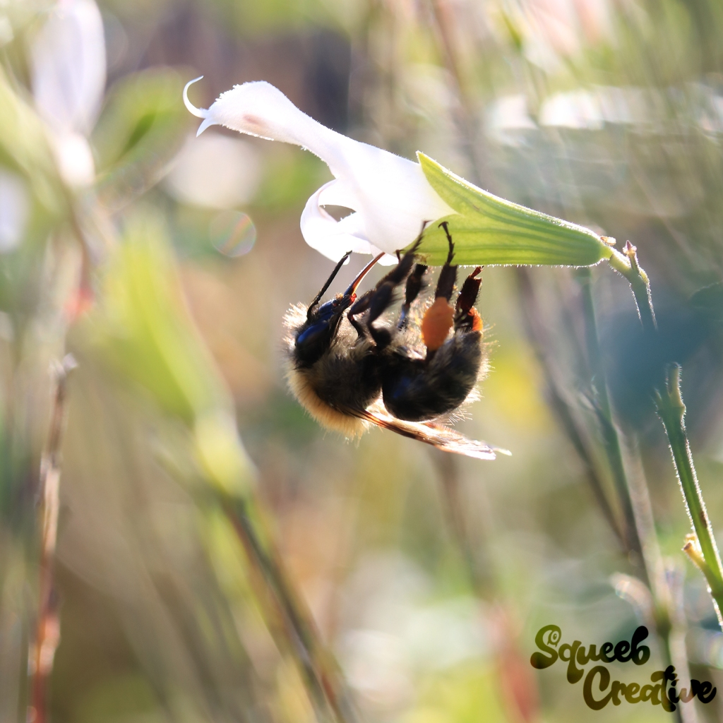 Save the bees, golden hour photography macro image of a bee on a white flower by Squeeb Creative